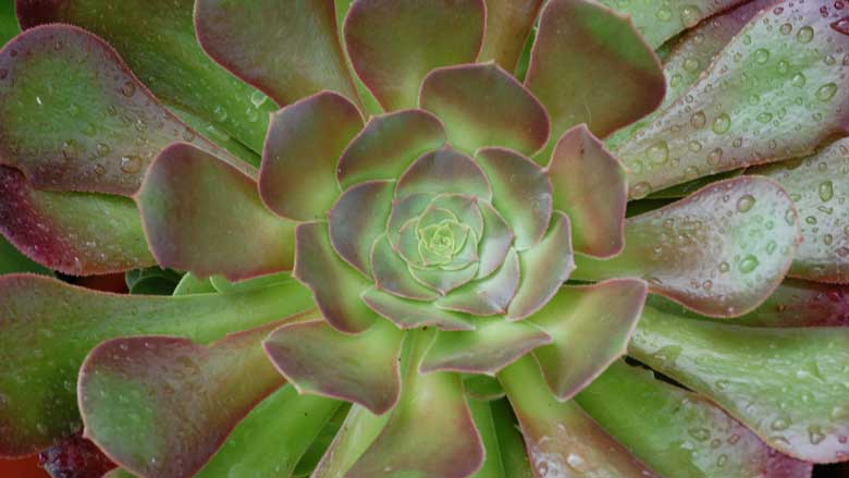 Aeonium 'Blushing Beauty' Care and Propagation: A Complete Guide
