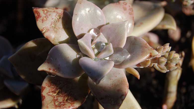 Brown Spots on Succulents