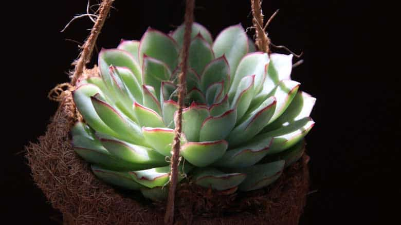 Do Succulents Need Direct Sunlight?