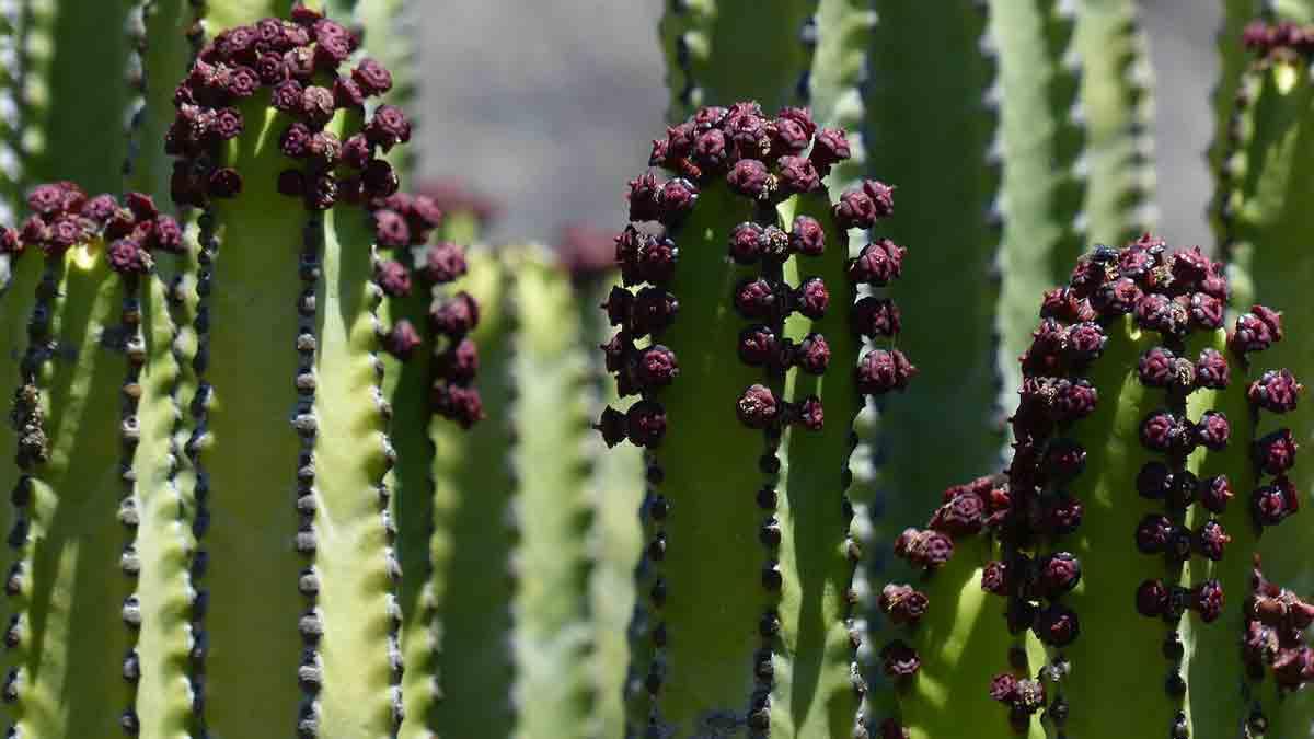 Euphorbia genus