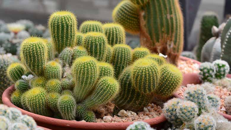 How To Grow Cactus From Cuttings
