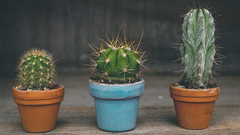 How to make cactus grow faster