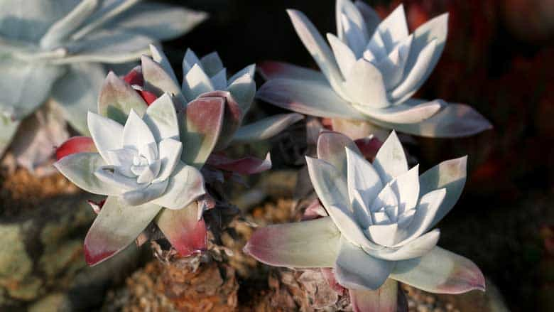 How to Transplant Succulents