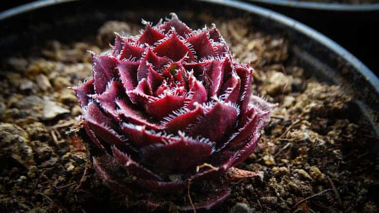 When Should You Water Succulents After Repotting